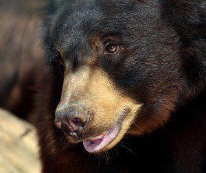 Photo of Tahoe, the bear.
